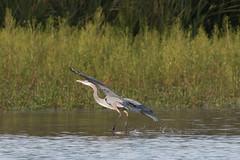 IMG_9967.jpg Great-blue Heron, , Lee Road, Struve Slough