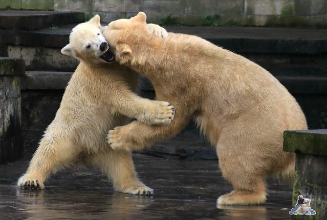 Eisbär Fiete im Zoo Rostock 13.12.2015  169