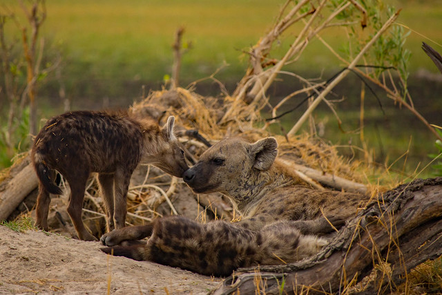 Hyena cubs and mama