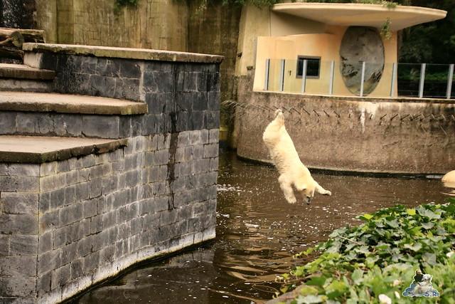 Eisbär Fiete imm Zoo Rostock 15.08.2015 Teil 1  184