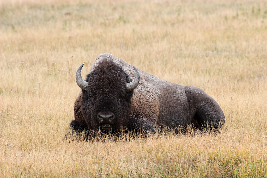 An American bison bull relaxes in a meadow near the Madison River in Yellowstone National Park