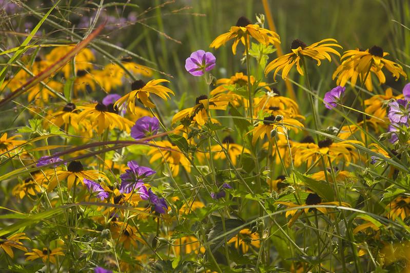 geranium and rudbeckia sunny
