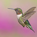 Ruby-throated Hummingbird by Gord Sawyer