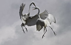 egrets in fight