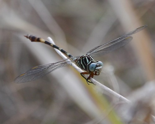 Broad-striped Forceptail - 1