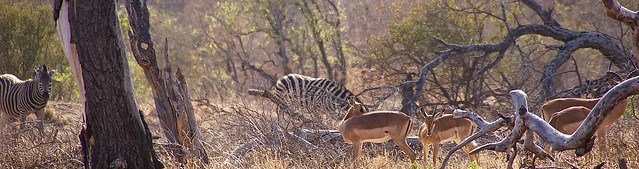 Zebras and antelopes in one frame