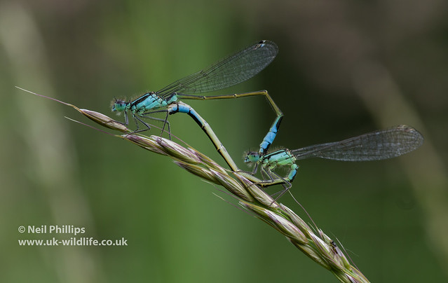 mating pair of blue tailed damselfly-3