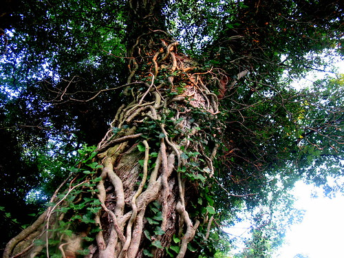 old tree covered with vines