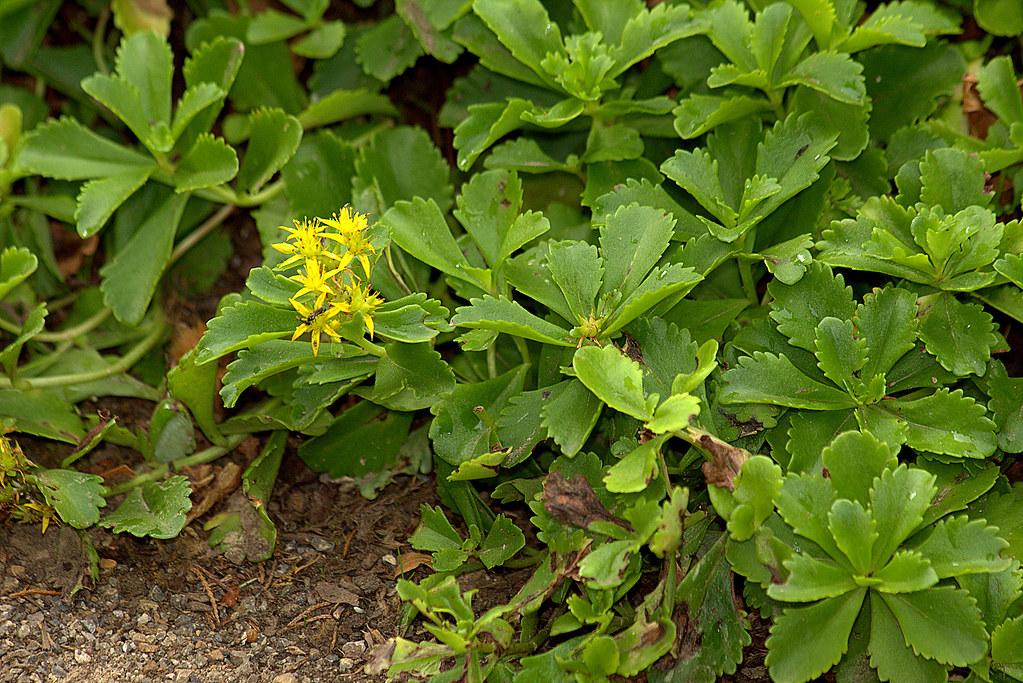 sedum selskianum de las crassulaceae