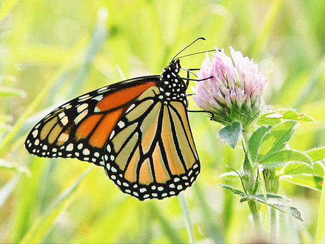 Monarch butterfly 2-20150901