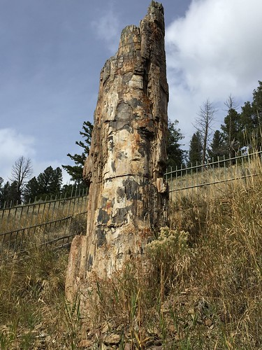 yellowstone petrified tree