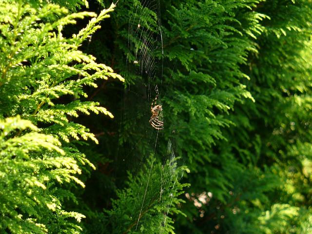 Křižák obecný (Araneus diadematus)