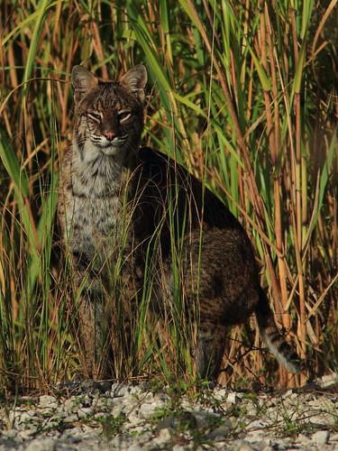 Bobcat DARK 02-20151020