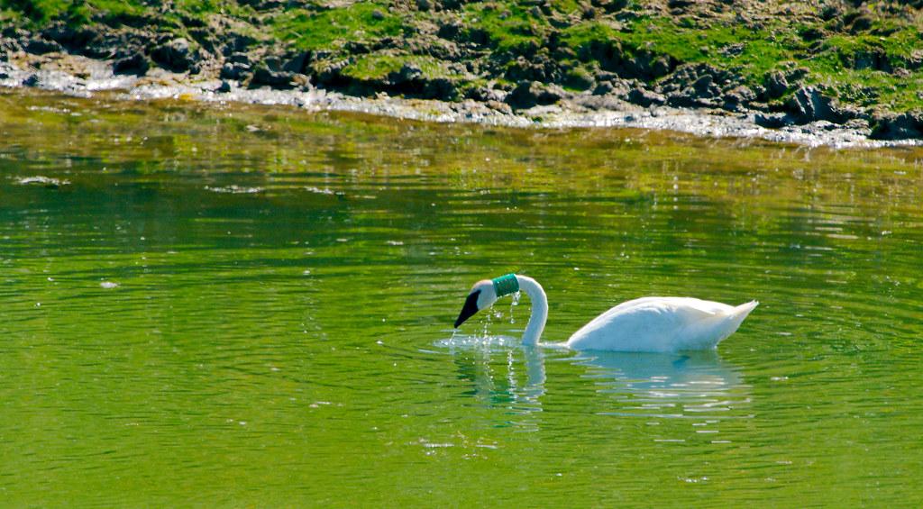 Trumpeter Swan_1