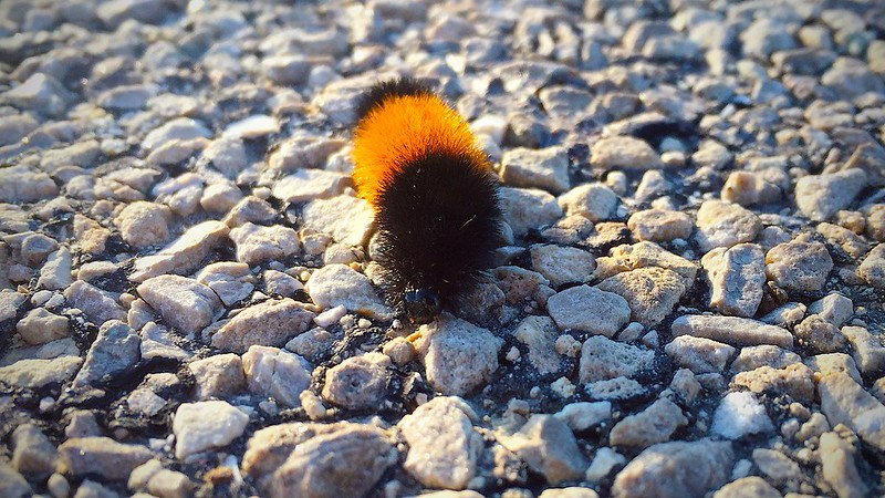 forecasting the future with our friend the wooly bear caterpillar?