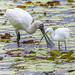 togetherness (royal spoonbill and little egret) by Fat Burns ☮ (on/off)