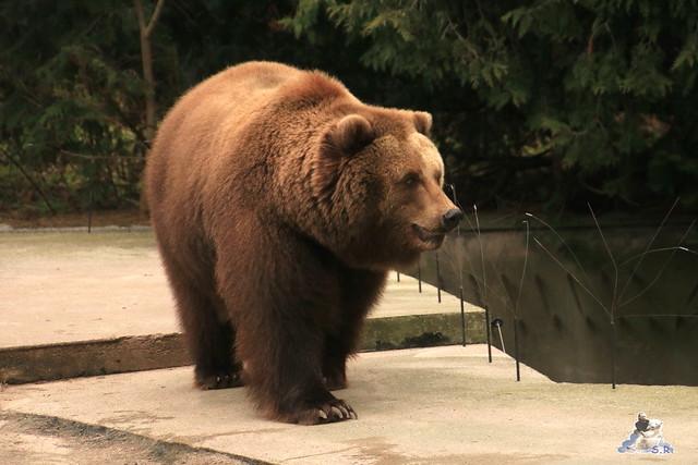 Eisbär Fiete im Zoo Rostock 05.12.2015  138