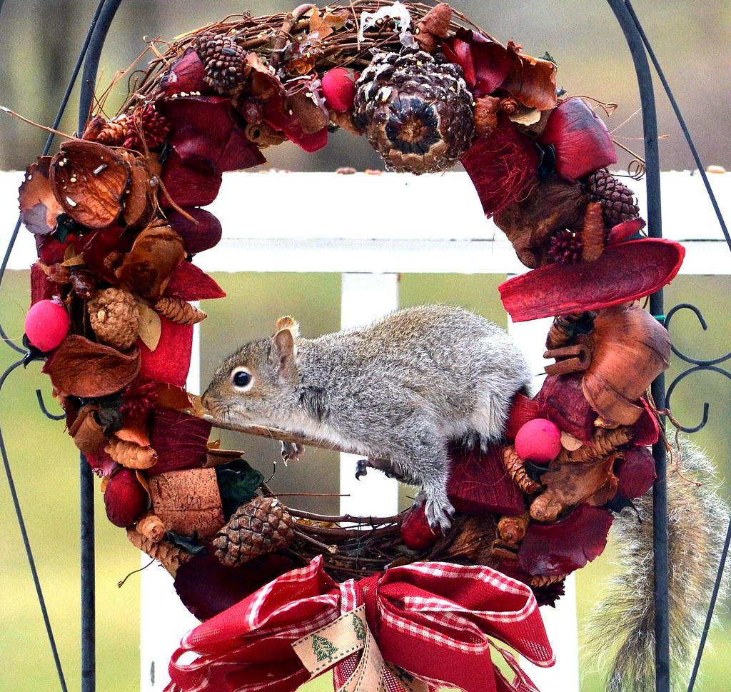 Christmas Squirrel, Phoenixville, PA USA 12/18/16