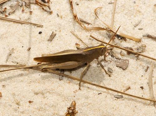 mississippi spring16 insects grasshopperscricketskatydidsorthoptera shorthornedgrasshoppersacrididae grasshopperscaelifera birdgrasshopperscyrtacanthacridinae flickr gautier unitedstates