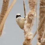 Pájaro moscón en las lagunas de La Guardia (Toledo)
