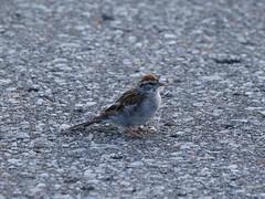 animal, sparrow, nature, fauna, finch, emberizidae, beak, house sparrow, bird, lark, wildlife,