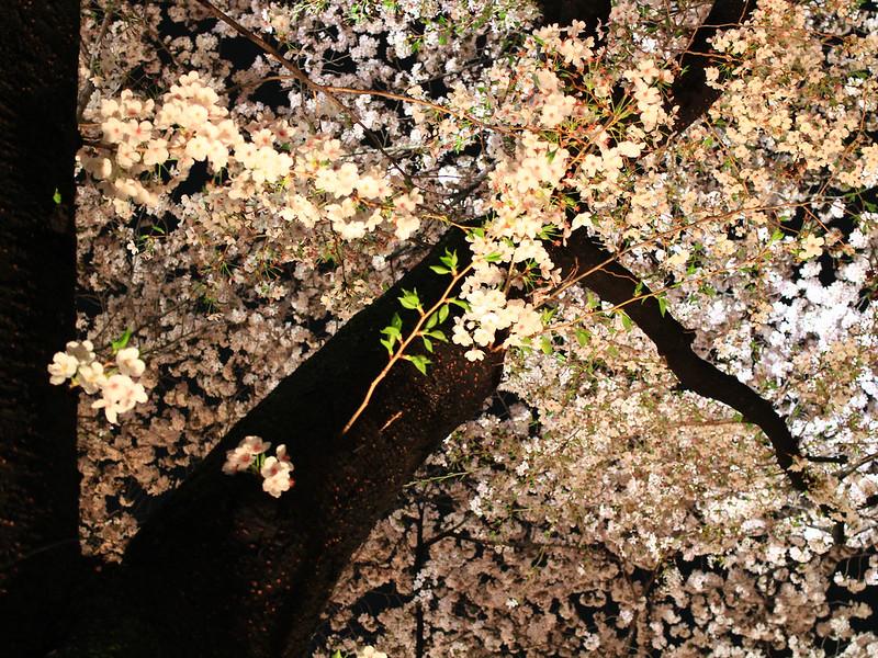 0403_祇園白川夜櫻 (11)