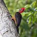 Red-necked Woodpecker (Campephilus rubricollis) by RonW's pictures