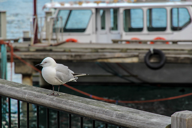 Seagull in Queenstown, New Zealand