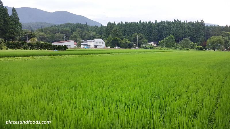 akita paddy field near homestay