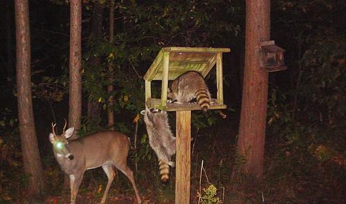 fall animals night mi mammal corn deer feed raccoon nationalgeographic fernridge trailcam october2015