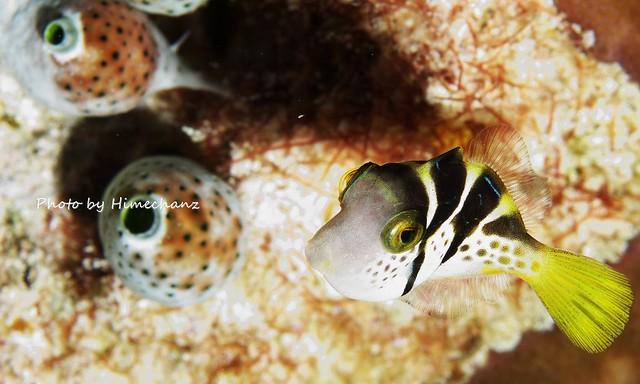 ノコギリダイの幼魚!かわゆす