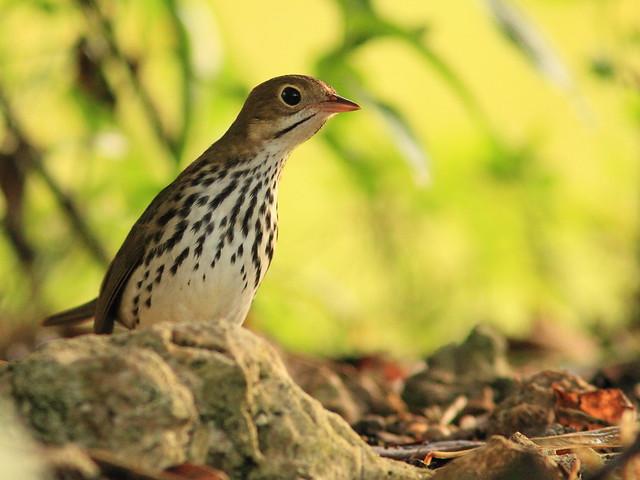 Ovenbird 4-20151015