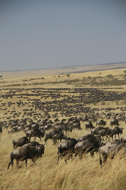 Migration of Wildebeest