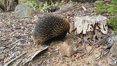 A common visitor to Canberra gardens