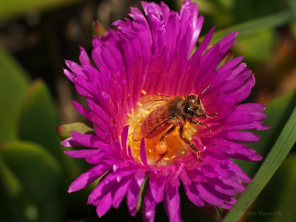 Bee in pigface flower_c