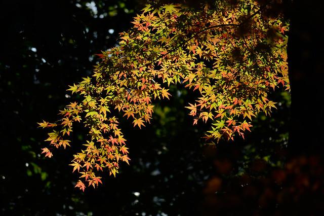 モミジ Japanese maple