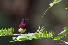 crimson-backed-sunbird_28486255435_o