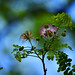 Small photo of Albizia sp