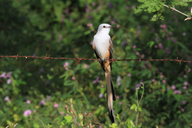Scissor-tailed flycatcher / tyran à longue queue