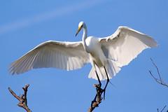 White Egret Landing