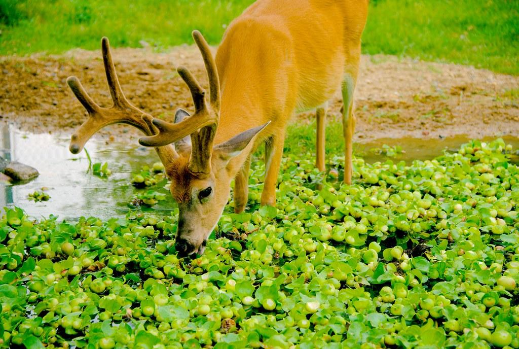 Deer_6