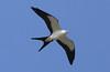 Swallow-tailed Kite - Champaign, Illinois