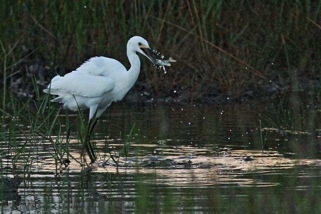 Snowy Egret dance 13-20150817