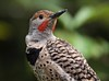 Northern Flicker Male.
