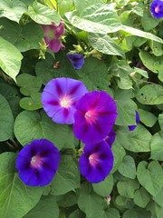 pansy(0.0), annual plant(1.0), ipomoea violacea(1.0), flower(1.0), plant(1.0), flora(1.0), morning glory(1.0), petal(1.0),