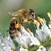 Honey bee on Veronicastrum virginicum by conall..