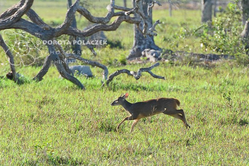 Gray brocket deer (Mazama gouazoubira)