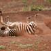Play Time - Zebra Foal Rolling in Dirt - 5535b+ by teagden