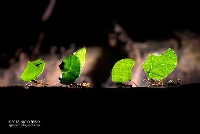 Leaf cutter ants (Atta sp.) - ESC_0172