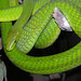 Small photo of Dendroaspis angusticeps-- the Green Mamba